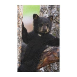 El gandulear de Cub de osos negros Impresión En Lienzo Estirada