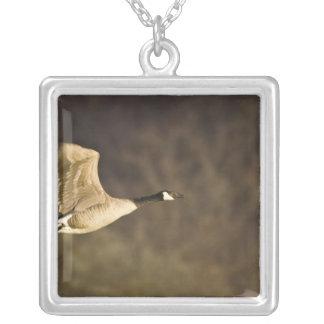 El ganso de Canadá saca para el vuelo en humedales Colgante Cuadrado