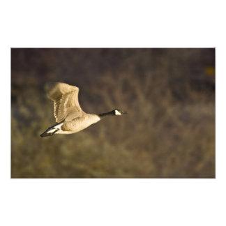 El ganso de Canadá saca para el vuelo en humedales Cojinete