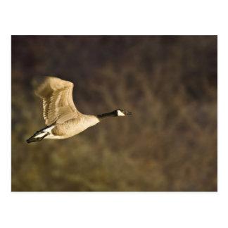 El ganso de Canadá saca para el vuelo en humedales Postal