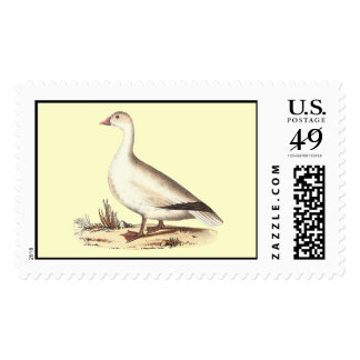 El ganso de nieve (hyperboreus del Anser) Timbre Postal