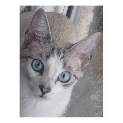 El gatito tiene ojos azules postal