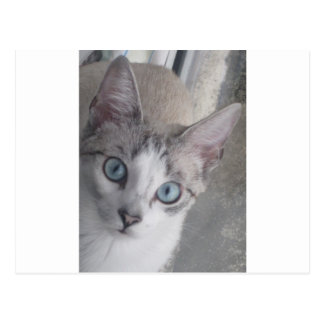 El gatito tiene ojos azules postales