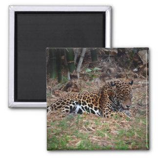 el gato grande del jaguar que lame las patas imán cuadrado