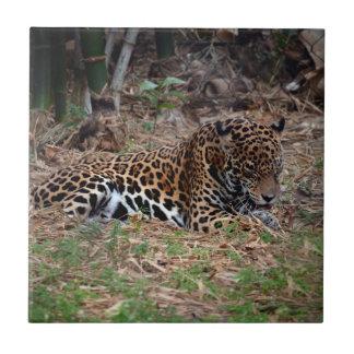 el gato grande del jaguar que lame las patas refre azulejo