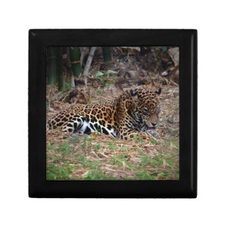 el gato grande del jaguar que lame las patas refre caja de recuerdo