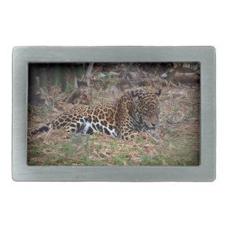 el gato grande del jaguar que lame las patas refre hebillas de cinturón rectangulares