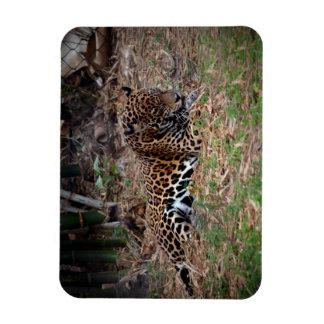 el gato grande del jaguar que lame las patas refre iman rectangular