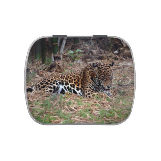 el gato grande del jaguar que lame las patas refre latas de dulces