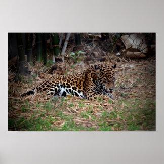 el gato grande del jaguar que lame las patas refre poster