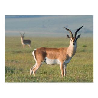 El Gazelle de Grant, cráter de Ngorongoro, Tarjetas Postales