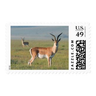 El Gazelle de Grant, cráter de Ngorongoro, Timbre Postal