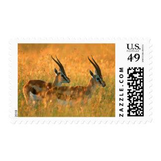 El Gazelle de Thomson (Gazella Thomsonii) en el Estampilla