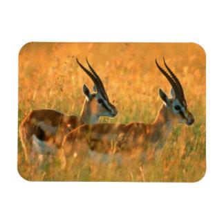 El Gazelle de Thomson (Gazella Thomsonii) en el Imán Rectangular