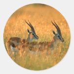 El Gazelle de Thomson (Gazella Thomsonii) en el Pegatina Redonda