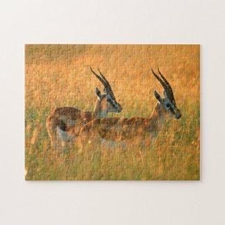 El Gazelle de Thomson (Gazella Thomsonii) en el Rompecabeza