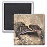 El gecko de Lichtenfelder Imán Cuadrado