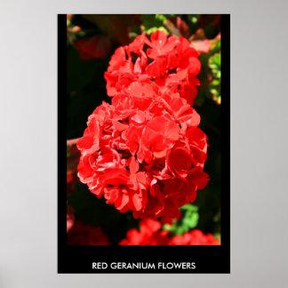 El geranio rojo florece el poster, impresión