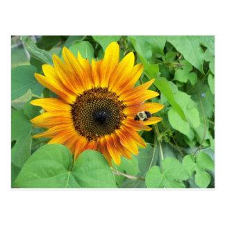 El girasol y manosea la abeja tarjeta postal