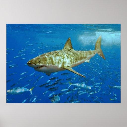 El gran Carcharias del Carcharodon del tiburón bla Posters