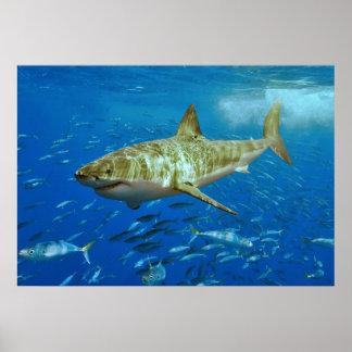 El gran Carcharias del Carcharodon del tiburón bla Póster