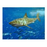 El gran Carcharias del Carcharodon del tiburón bla Postal