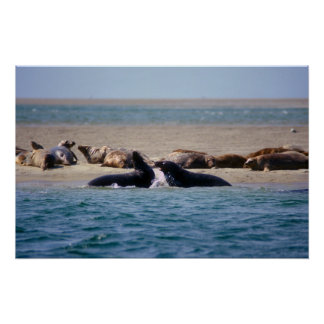 El gris sella la reserva Cape Cod de Monomoy Póster