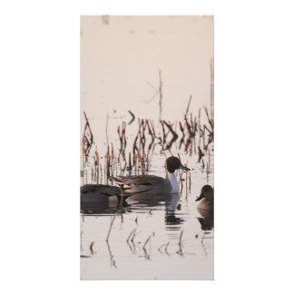 El grupo de patos del pato rojizo recolecta y las tarjetas personales con fotos