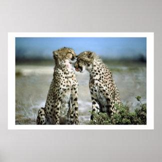 El guepardo besa el poster de la fauna