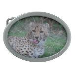 El guepardo que lame el suyo taja hebillas cinturón