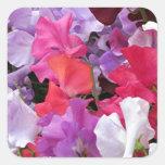 El guisante de olor rosado, púrpura y blanco flore pegatinas