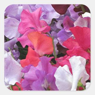 El guisante de olor rosado, púrpura y blanco pegatina cuadrada
