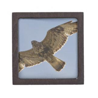 El halcón áspero-legged masculino se eleva cerca d cajas de joyas de calidad