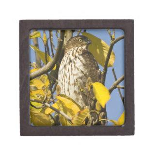 El halcón de Swainson en el jardín chino 2 del Lan Caja De Joyas De Calidad