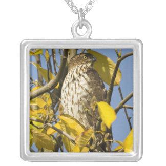 El halcón de Swainson en el jardín chino 2 del Lan Colgante