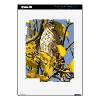 El halcón de Swainson en el jardín chino 2 del Lan iPad 3 Skins