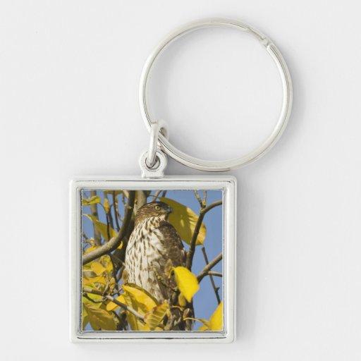El halcón de Swainson en el jardín chino 2 del Lan Llavero Cuadrado Plateado