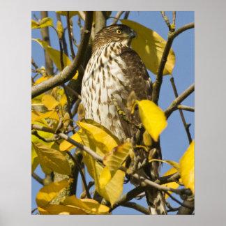 El halcón de Swainson en el jardín chino 2 del Lan Poster