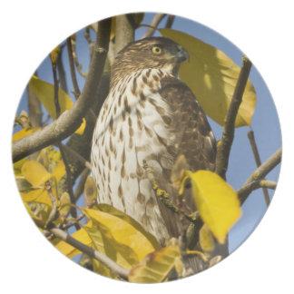 El halcón de Swainson en el jardín chino 2 del Lan Platos
