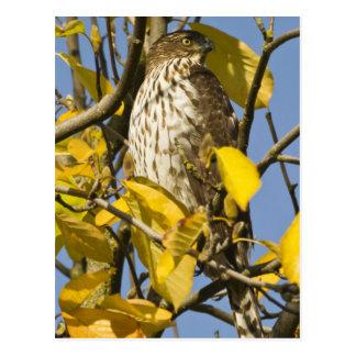 El halcón de Swainson en el jardín chino 2 del Lan Postales