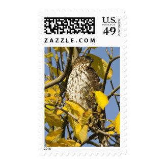 El halcón de Swainson en el jardín chino 2 del Lan Sellos