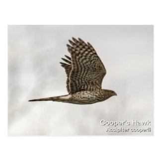 El halcón del tonelero tarjeta postal