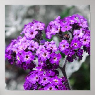 El heliótropo púrpura florece el poster