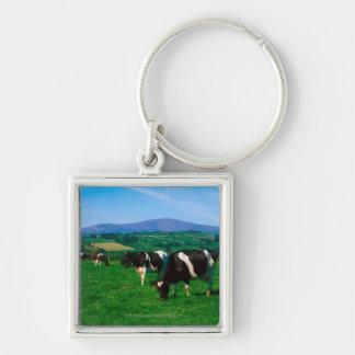 El Holstein-frisón se acobarda cerca de Borris, co Llaveros