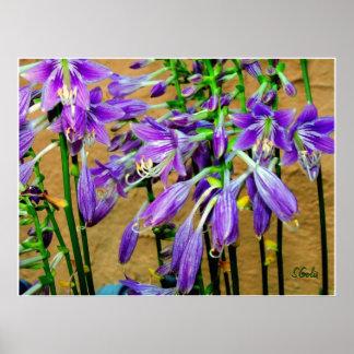 El Hosta púrpura florece el poster