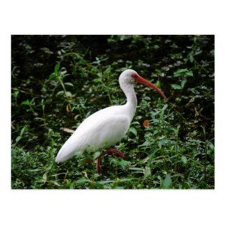 El Ibis blanco… Postal