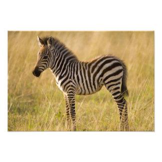 El joven aclara el quagga del Equus de la cebra) e Fotografía