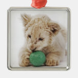 El jugar blanco del cachorro de león (krugeri de l ornamentos de reyes