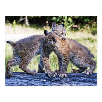 El jugar canadiense de los gatitos del lince postales