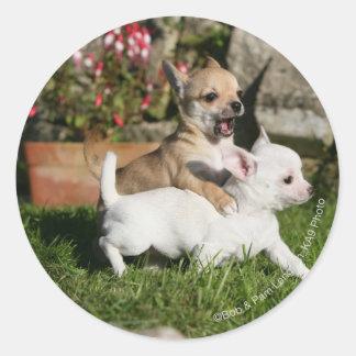 El jugar del perrito de la chihuahua pegatina redonda